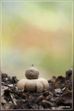 Gewimperde aardster - Geastrum fimbriatum