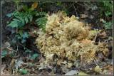 Grote sponszwam - Sparassis crispa