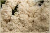 Zwart reuzenkussen - Brefeldia maxima