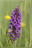 _MG_9721-9725kopie.jpg Dactylorhiza x wintoni ?
