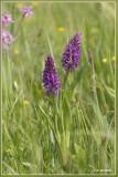 _MG_9726-9729kopie.jpg Dactylorhiza x wintoni ?