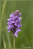 Dactylorhiza maculata - Gevlekte orchis ?