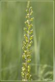 Grote keverorchis -  Listera ovata