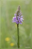 Dactylorhiza fuschii - Bosorchis