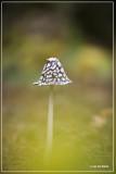 Spechtinktzwam - Coprinopsis picacea