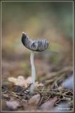 Hazenpootje - Coprinopsis lagopus