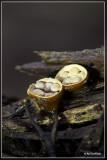 Geel nestzwammetje Crucibulum crucibuliforme