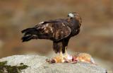 Golden eagle (homeyeri)