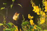 Melodious warbler