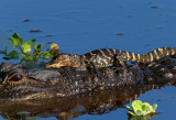American Alligator with Babies
