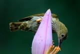 Sunbirds, Flowerpeckers and Spiderhunters of Malaysia
