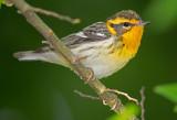 Female Blackburnian Warbler