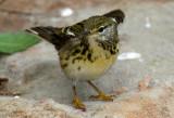 Female Blackpoll Warbler