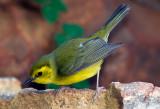 Female hooded Warbler