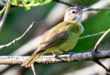 Yellow Green Vireo