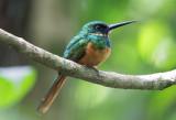Kingfishers, Motmots and Jacamars