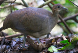 Tinamous, Guans, Curassows and Chachalacas