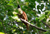 Bellbirds, Manakins and Oropendolas