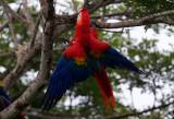 Parrots Pigeons and Shrikes