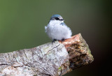 Swallows, Flycatchers, Gnatcatchers and Elaenias