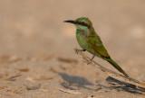 Little Green Beeater
