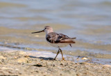 Sandpipers and other Waders