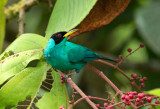 HoneyCreepers, Woodcreepers and Euphonias