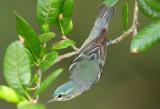Female Cerulean Warbler