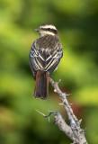 Variegated Flycatcher
