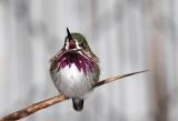 Calliope Hummingbird