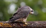 peregrine falcon (11)