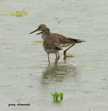 lesser yellowlegs  ( devon ) (10)