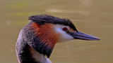 great crested grebe (9)