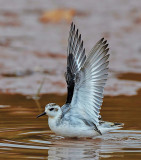 grey phalarope......devon (12)