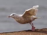 glaucous gull (6)