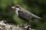 dippers of devon ( 13 )