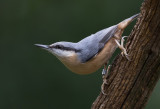 nuthatches of devon