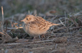 NW MS 1-29-14 (Sprague's Pipits etc)