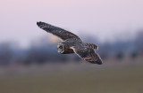 The Short-eared Owls of Buck Island Rd (Tunica Co, MS)