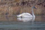 Trumpeter Swan; Madison Co TN