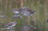 Interesting Dowitcher