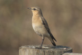 TN Northern Wheatear (Loudon Co)