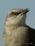NorthernMockinbird5730b.jpg