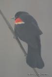 RedwingedBlackbird2054b.jpg