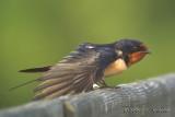 BarnSwallow6487b.jpg