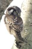 NorthernHawkOwl0216b.jpg