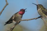 DSC_0376AnnasHummingbird.jpg