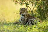 Mother Leopard With Cub