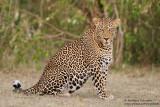 A Big Leopard