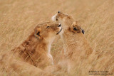 The Tender Lioness